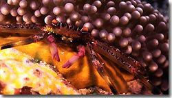A small crab peeking out from underneath some coral, Banda,Indonesia