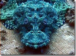 A crocodilefish; its eyes are amazing, Yap, Micronesia.