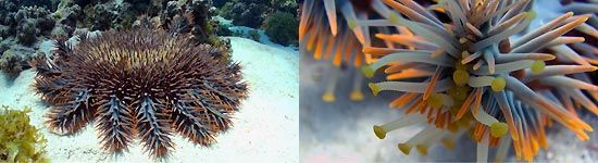 Crown of Thorns, Coral Bay, Western Australia