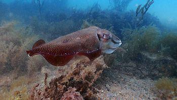 Cuttlefish. Rapid Bay Jetty, South Australia