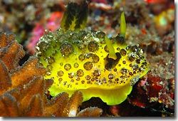 A Doris s.p not yet described, Lembeh Strait, Sulawesi, Indonesia