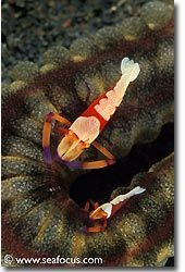 The Emperor Shrimp can almost always be found in pairs, Bali
