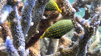 Orange-spotted Filefish at Coral Bay, Western Australia