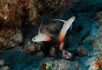 A pair of Fire Gobies - Cocos Keeling Islands, Western Australia