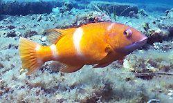Foxfish at Tanker Jetty. Esperance, Western Australia.