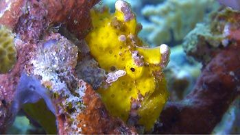 A Yellow Frogfish, trying to blend in