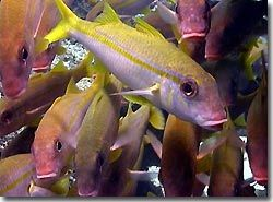 Goatfish galore, Yap, Micronesia.