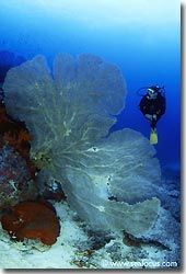 Beautiful large Gorgonian swaying gently in the light current, Banda, Spice Islands.