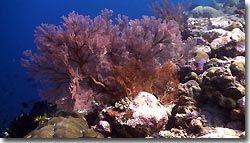 Robust Ghostpipefish', Banda,Indonesia