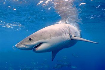 Great White Shark - photographed by underwater australasia member Daniel Norwood