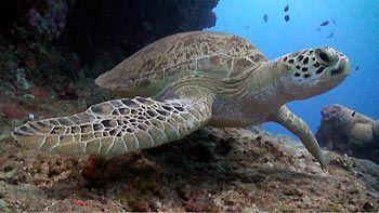 Green Turtle. Great Barrier Reef, Australia