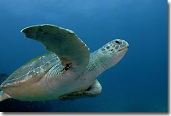 Green Turtle cruising, Julian Rocks, Byron Bay, Australia