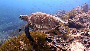 Green Turtle, Heron Island. Heron Island Resort, Australia