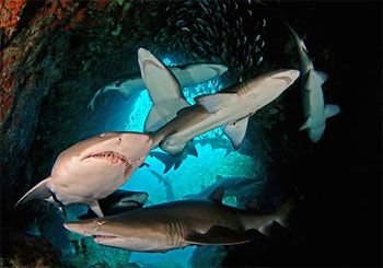 Grey Nurse Sharks, a threatened species. Photo by Richard Ling