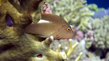 HAwkfish keeping watch. Great Barrier Reef, Australia