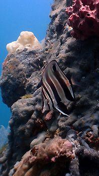 A juvenile Western Talma. Rapid Bay Jetty, South Australia