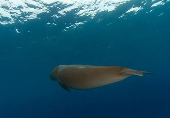 KAT, the lonely dugong - Cocos Keeling Islands, Western Australia