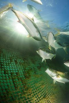 Swim with Kingfish at Whyalla, South Australia