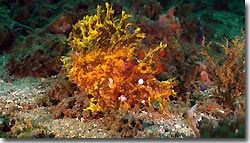 A lacey Scorpionfish,Indonesia