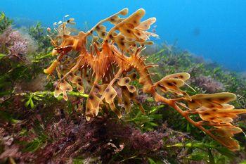 Leafy Seadragon. Rapid Bay, South Australia