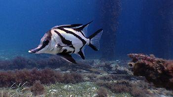 Long-nose Boarfish at the Tanker Jetty, Esperance, Western Australia.
