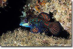A colourful Mandarinfish, Banda, Spice Islands.