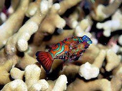 A Mandarinfish couple at New Ireland, Papua New Guinea.