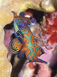 A Mandarinfish couple mating, Milne Bay, Papua New Guinea