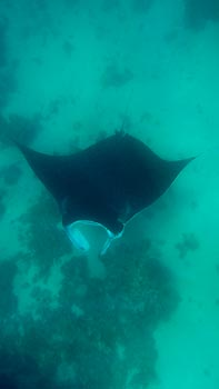 Snorkeling with Manta Rays. Coral Bay, Western Australia