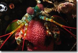 A Mantis Shrimp with its eggs, Lembeh Strait, Sulawesi, Indonesia