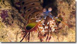 Mantis Shrimp Sipadan, Borneo, Malaysia