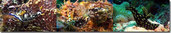 Nudibranchs, Banda,Indonesia