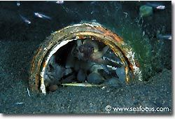 An octopus in its burrow, Bali