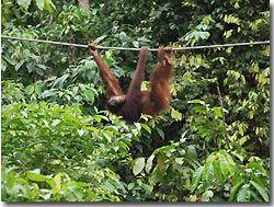 Orang Utan in the sanctuary. Sipadan, Borneo, Malaysia