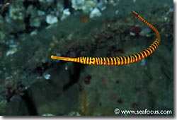 There are several different species of pipefish can be found in the area, Banda, Spice Islands.