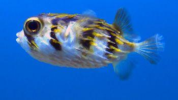 Porcupine Pufferfish at Tanker Jetty. Esperance, Western Australia.