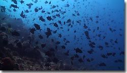 School of Red-tooth Triggerfish above te reef, Banda,Indonesia