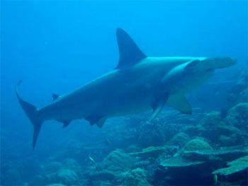 Scalloped Hammerhead Shark - photographed by underwater australasia member Michael Roet
