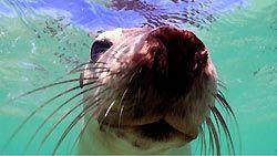 Snorkeling with Australian Sea-lions at Jurien Bay, Western Australia.