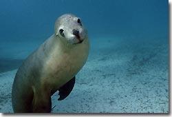 Australian Sea Lions - what a buzz!Hopkins Island,South Australia