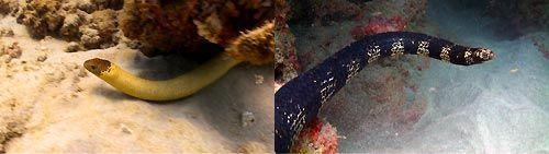 Olive Seasnake and a Turtle-headed Seasnake at Ningaloo Reef, Exmouth, Western Australia