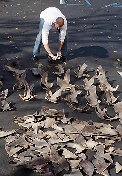 Shark fins on display. Photo by NOAA