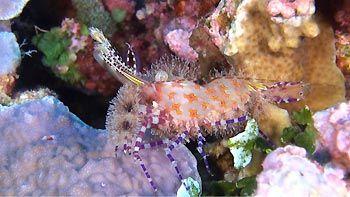 A beautiful Sharon Shrimp