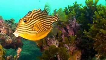 Female Shaw's Cowfish. Point Moore, Geraldton, Western Australia