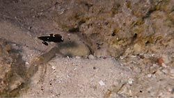 A shrimp and goby pair on the sand
