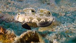 A Signal Goby