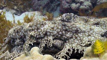 A Tasseled Wobbegong chillin'. Ningaloo Reef, Exmouth, Western Australia.