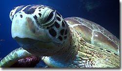 A Green Turtle. Sipadan, Borneo, Malaysia