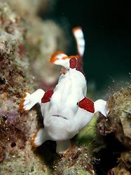 A very small Warty Frogfish, Milne Bay, Papua New Guinea