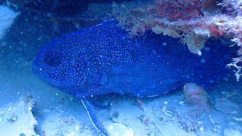 Blue Devil. Off Dunsborough, Geographe Bay, Western Australia